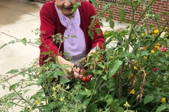 Resident-picking-fresh-produce-from-Brooksides-Garden